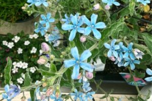 Blue star<br>ブルースター